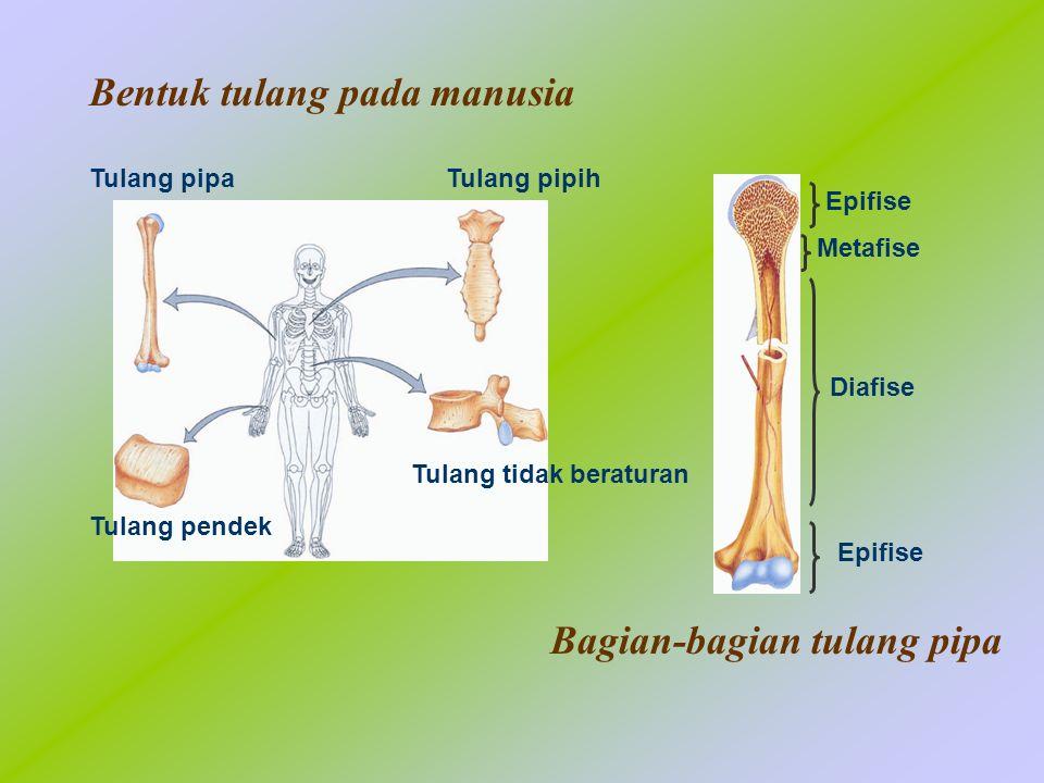 Bentuk tulang pada manusia Bagian-bagian tulang pipa Tulang pipa Tulang pendek Tulang tidak beraturan Tulang pipih Epifise Metafise Diafise Epifise