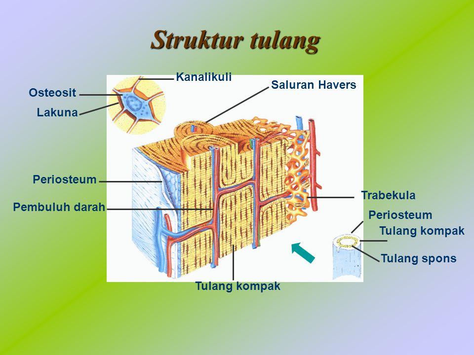 Kanalikuli Osteosit Lakuna Periosteum Pembuluh darah Tulang kompak Periosteum Tulang kompak Tulang spons Saluran Havers Trabekula Struktur tulang