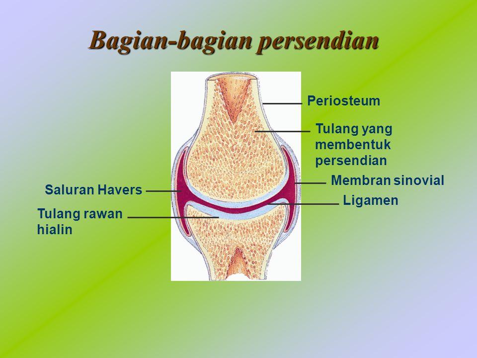 Bagian-bagian persendian Tulang yang membentuk persendian Membran sinovial Ligamen Saluran Havers Tulang rawan hialin Periosteum
