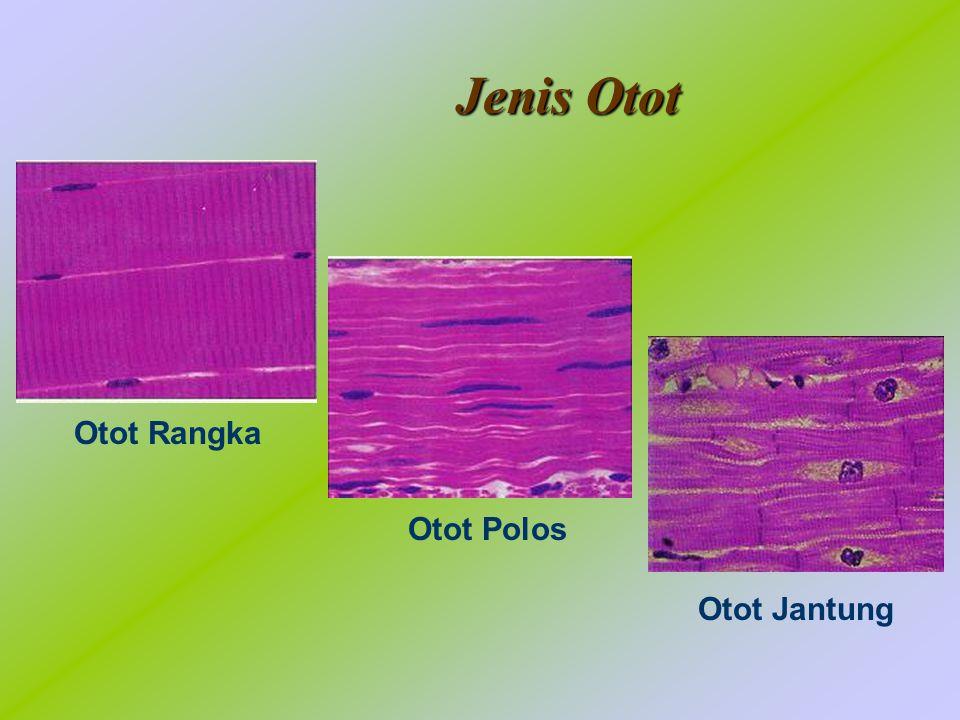 Jenis Otot Otot Rangka Otot Polos Otot Jantung
