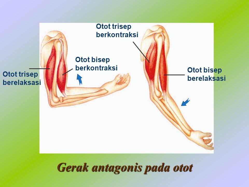 Gerak antagonis pada otot Otot bisep berelaksasi Otot trisep berkontraksi Otot bisep berkontraksi Otot trisep berelaksasi