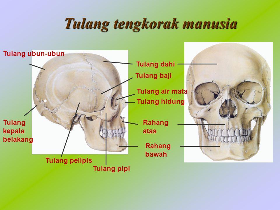 Tulang dahi Tulang baji Rahang atas Rahang bawah Tulang pipi Tulang pelipis Tulang ubun-ubun Tulang kepala belakang Tulang air mata Tulang hidung Tulang tengkorak manusia