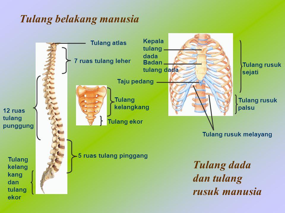Tampak depanTampak belakang Tulang selangka Tulang belikat Tulang bahu manusia