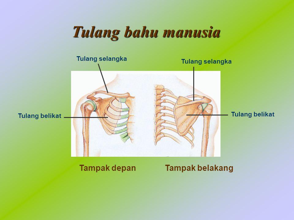 Bagian-bagian otot rangka Origo dari ulang belikat Origo dari tulang belikat dan hasta Bisep Trisep Tendon Insersi di tulang pengumpil Insersi di tulang hasta Empal/ventrikel
