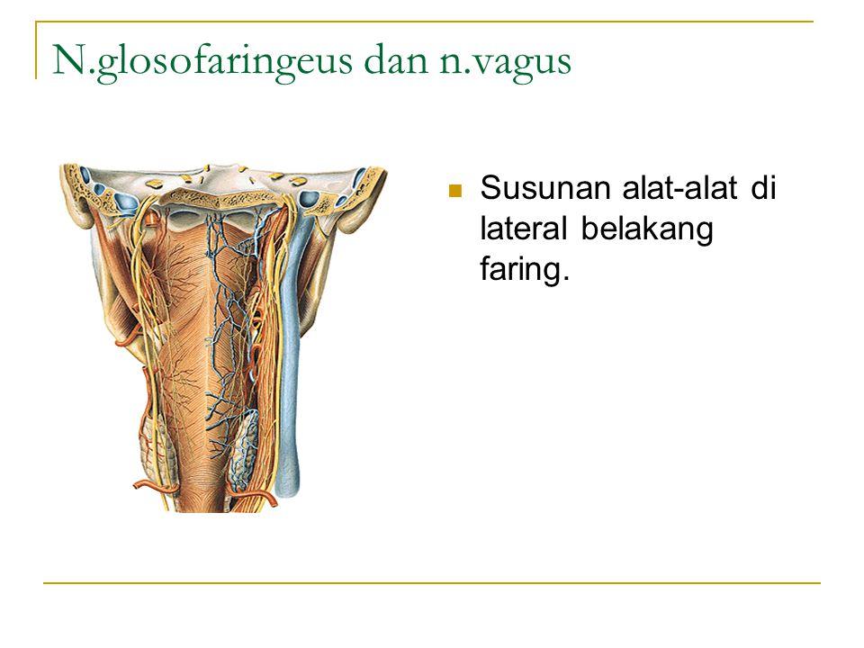 N.glosofaringeus dan n.vagus Susunan alat-alat di lateral belakang faring.