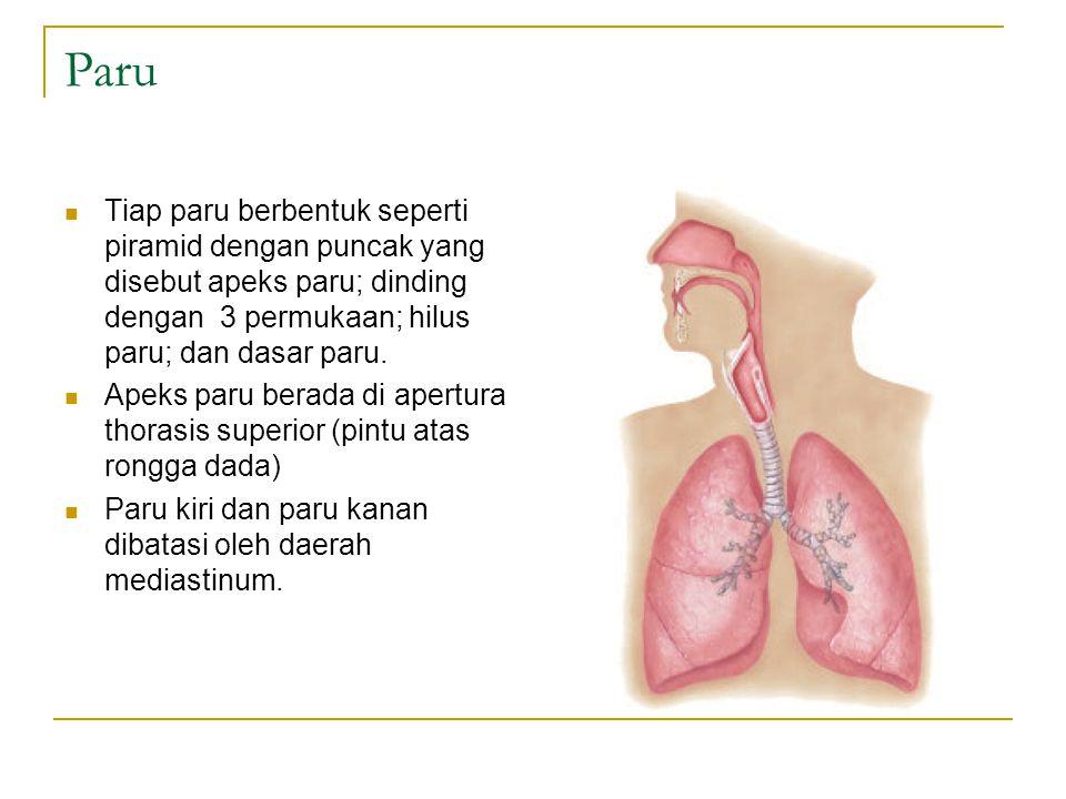 Paru Tiap paru berbentuk seperti piramid dengan puncak yang disebut apeks paru; dinding dengan 3 permukaan; hilus paru; dan dasar paru.