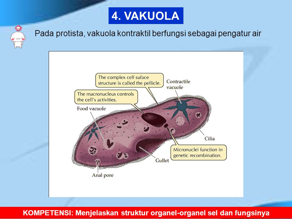 Pada protista, vakuola kontraktil berfungsi sebagai pengatur air KOMPETENSI: Menjelaskan struktur organel-organel sel dan fungsinya 4. VAKUOLA
