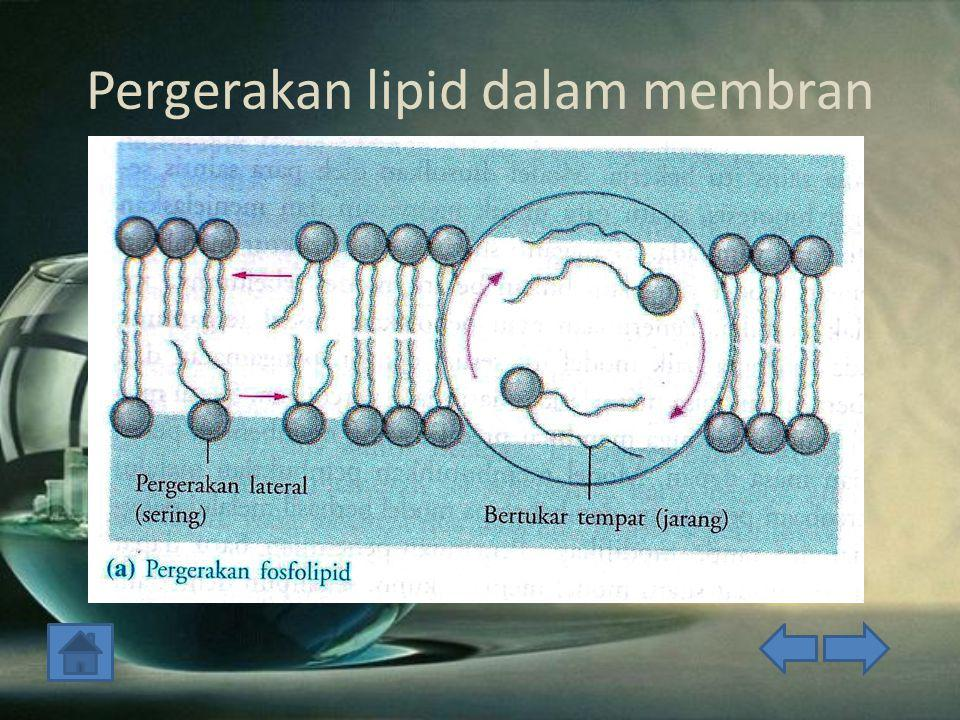 Pergerakan lipid dalam membran