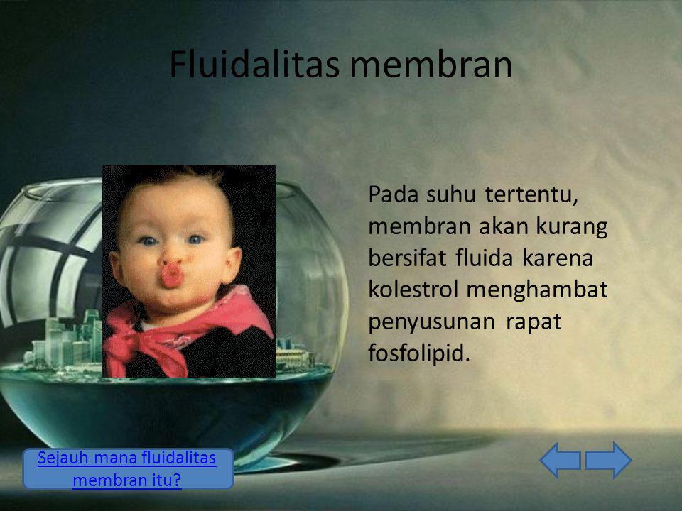 Fluidalitas membran Pada suhu tertentu, membran akan kurang bersifat fluida karena kolestrol menghambat penyusunan rapat fosfolipid.