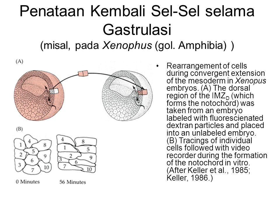 Penataan Kembali Sel-Sel selama Gastrulasi (misal, pada Xenophus (gol. Amphibia) ) Rearrangement of cells during convergent extension of the mesoderm