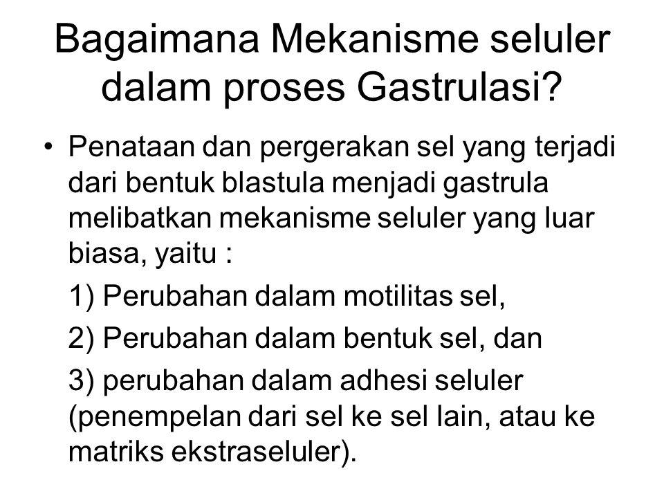 Bagaimana Mekanisme seluler dalam proses Gastrulasi? Penataan dan pergerakan sel yang terjadi dari bentuk blastula menjadi gastrula melibatkan mekanis