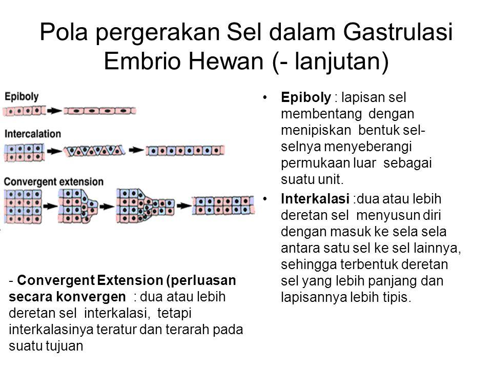 Epiboly : lapisan sel membentang dengan menipiskan bentuk sel- selnya menyeberangi permukaan luar sebagai suatu unit. Interkalasi :dua atau lebih dere