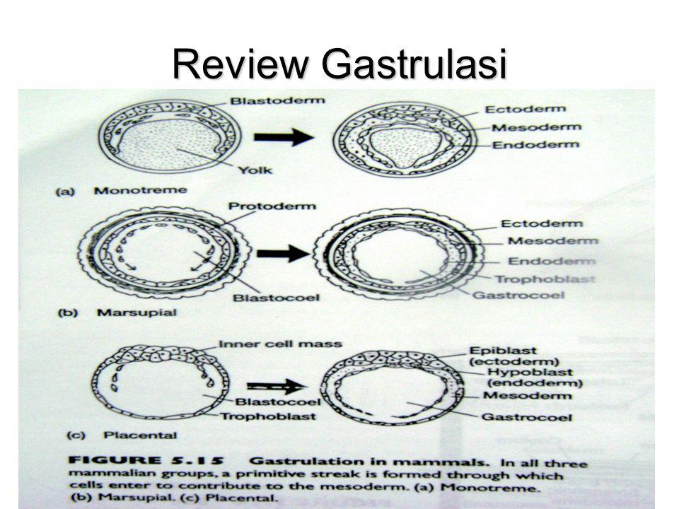 Keterangan gambar a.Embrio saat akhir gastrulasi dan awal neurulasi b.Neurulasi : lempeng neuron menggulung dan membentuk sebuah jaringan berlubang (neural tube).