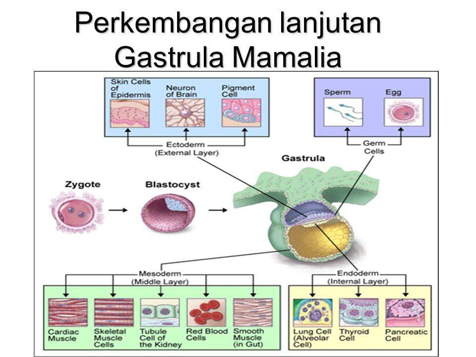 Determinasi Ektoderm pada perkembangan gastrula Determination of ectoderm during newt gastrulation.