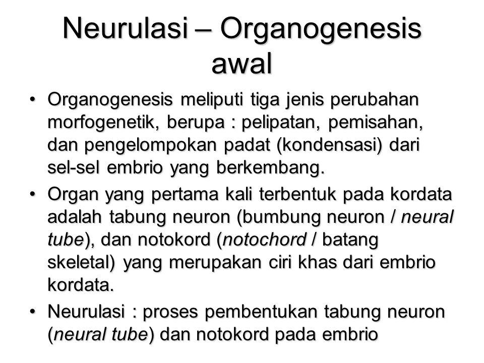Neurulasi – Organogenesis awal Organogenesis meliputi tiga jenis perubahan morfogenetik, berupa : pelipatan, pemisahan, dan pengelompokan padat (kondensasi) dari sel-sel embrio yang berkembang.Organogenesis meliputi tiga jenis perubahan morfogenetik, berupa : pelipatan, pemisahan, dan pengelompokan padat (kondensasi) dari sel-sel embrio yang berkembang.