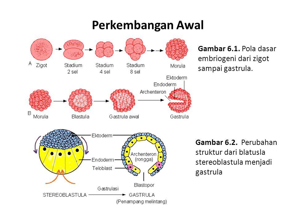 Perkembangan Awal Gambar 6.1. Pola dasar embriogeni dari zigot sampai gastrula. Gambar 6.2. Perubahan struktur dari blatusla stereoblastula menjadi ga