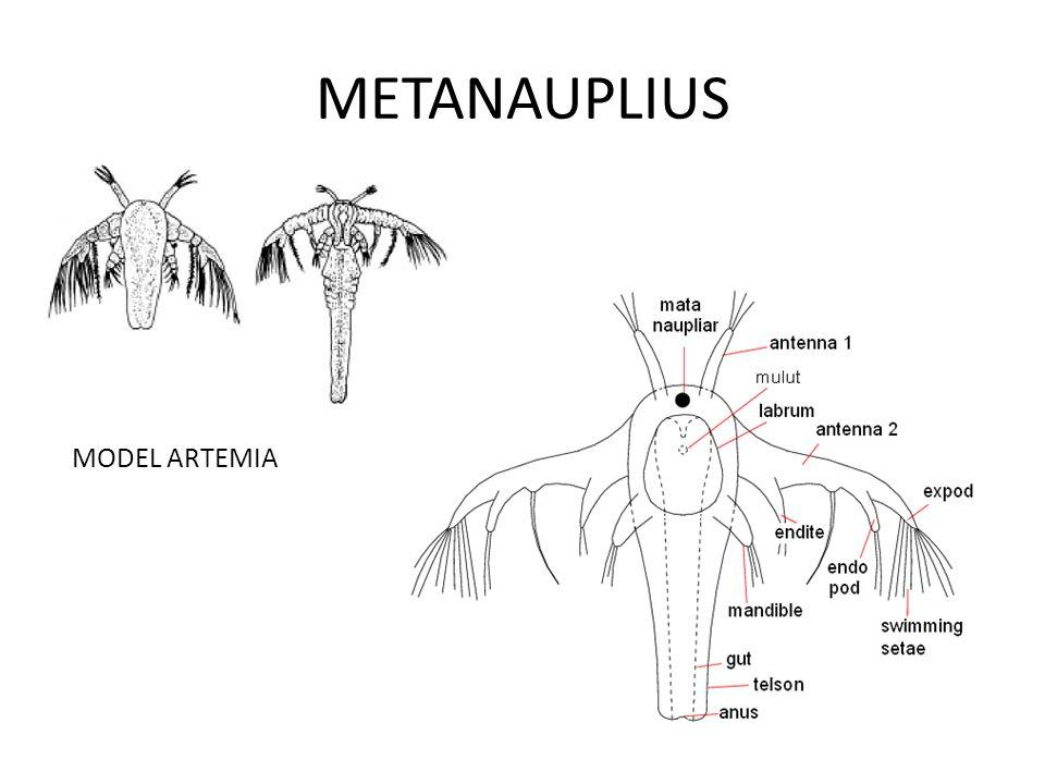 METANAUPLIUS MODEL ARTEMIA