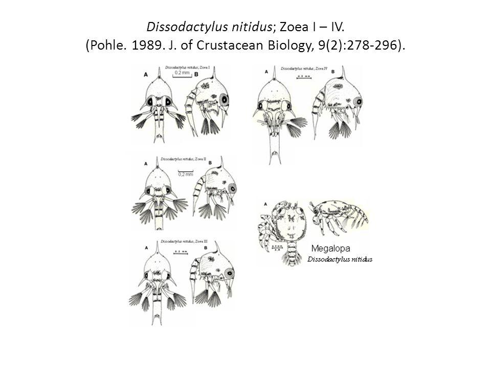 Dissodactylus nitidus; Zoea I – IV. (Pohle. 1989. J. of Crustacean Biology, 9(2):278-296).