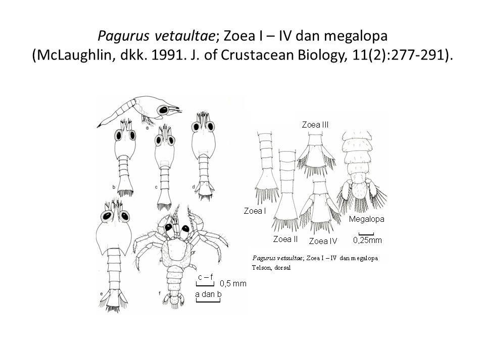 Pagurus vetaultae; Zoea I – IV dan megalopa (McLaughlin, dkk. 1991. J. of Crustacean Biology, 11(2):277-291).