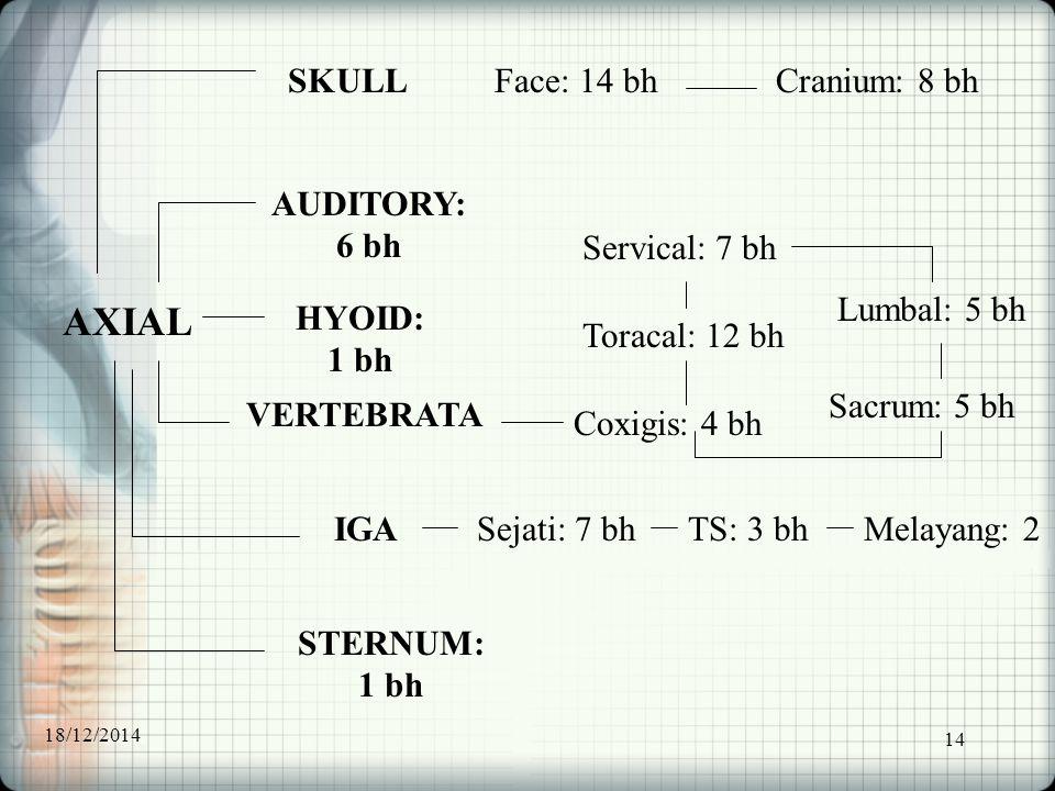 14 AXIAL AUDITORY: 6 bh SKULL HYOID: 1 bh VERTEBRATA IGA STERNUM: 1 bh Face: 14 bhCranium: 8 bh Toracal: 12 bh Servical: 7 bh Coxigis: 4 bh Lumbal: 5