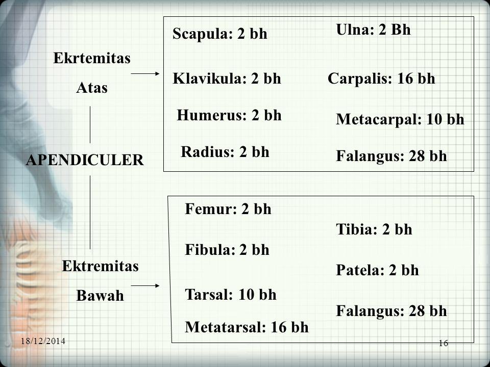 16 APENDICULER Ekrtemitas Atas Ektremitas Bawah Scapula: 2 bh Klavikula: 2 bh Humerus: 2 bh Radius: 2 bh Ulna: 2 Bh Carpalis: 16 bh Metacarpal: 10 bh