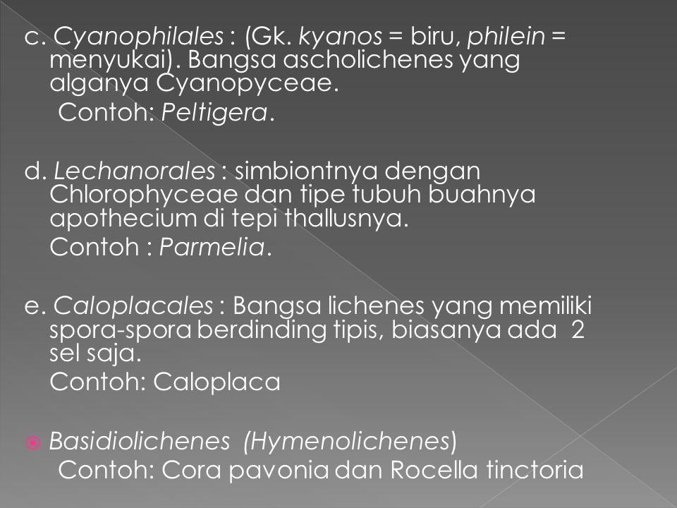 c. Cyanophilales : (Gk. kyanos = biru, philein = menyukai). Bangsa ascholichenes yang alganya Cyanopyceae. Contoh: Peltigera. d. Lechanorales : simbio