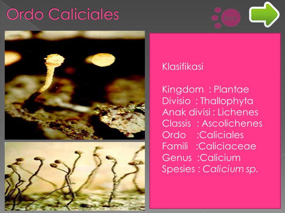 Klasifikasi Kingdom : Plantae Divisio : Thallophyta Anak divisi : Lichenes Classis : Ascolichenes Ordo :Caliciales Famili :Caliciaceae Genus :Calicium