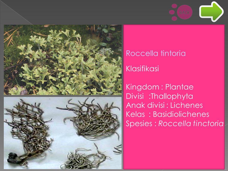 Klasifikasi Kingdom : Plantae Divisi:Thallophyta Anak divisi : Lichenes Kelas: Basidiolichenes Spesies : Roccella tinctoria Roccella tintoria
