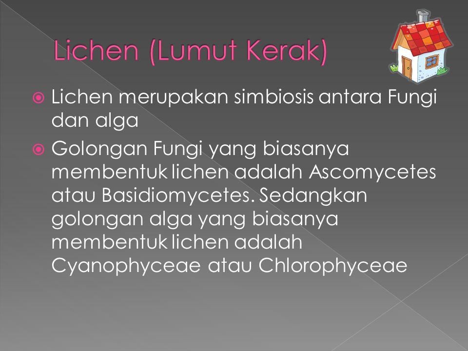  Lichen merupakan simbiosis antara Fungi dan alga  Golongan Fungi yang biasanya membentuk lichen adalah Ascomycetes atau Basidiomycetes. Sedangkan g