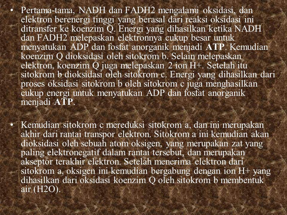 Pertama-tama, NADH dan FADH2 mengalami oksidasi, dan elektron berenergi tinggi yang berasal dari reaksi oksidasi ini ditransfer ke koenzim Q.