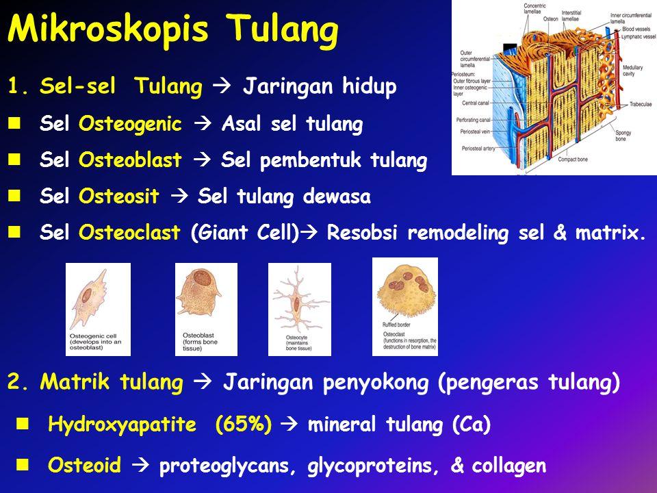 Mikroskopis Tulang 2.Matrik tulang  Jaringan penyokong (pengeras tulang) Hydroxyapatite (65%)  mineral tulang (Ca) Osteoid  proteoglycans, glycoproteins, & collagen 1.Sel-sel Tulang  Jaringan hidup Sel Osteogenic  Asal sel tulang Sel Osteoblast  Sel pembentuk tulang Sel Osteosit  Sel tulang dewasa Sel Osteoclast (Giant Cell)  Resobsi remodeling sel & matrix.