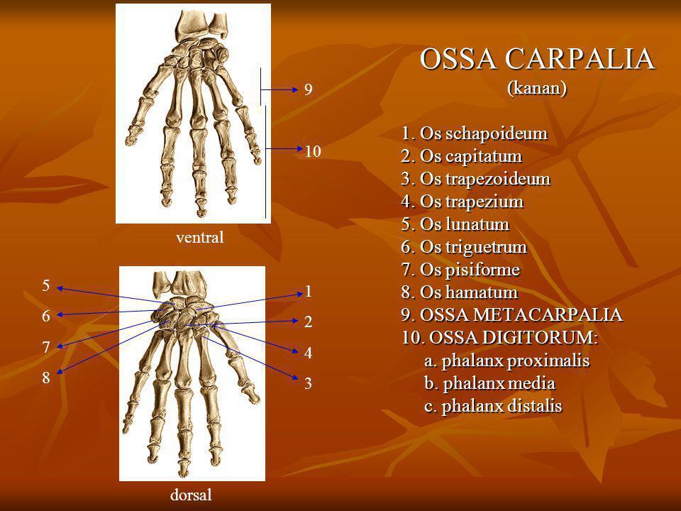 OSSA CARPALIA (kanan) 1. Os schapoideum 2. Os capitatum 3. Os trapezoideum 4. Os trapezium 5. Os lunatum 6. Os triguetrum 7. Os pisiforme 8. Os hamatu
