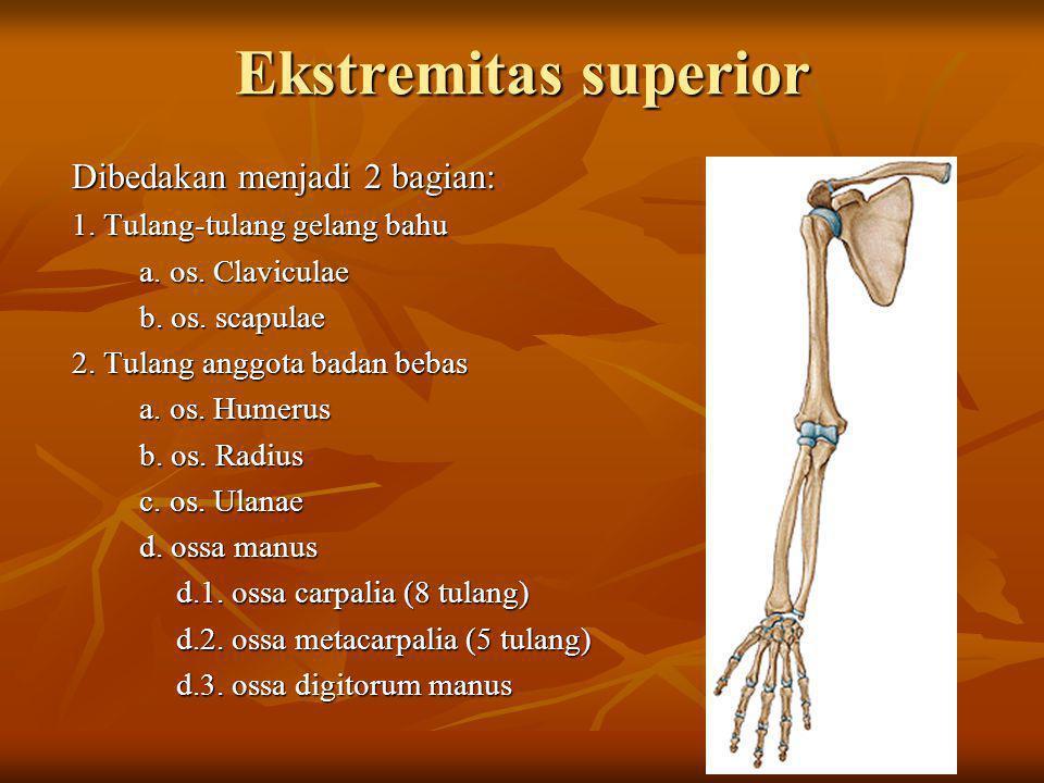 Ekstremitas superior Dibedakan menjadi 2 bagian: 1. Tulang-tulang gelang bahu a. os. Claviculae b. os. scapulae 2. Tulang anggota badan bebas a. os. H