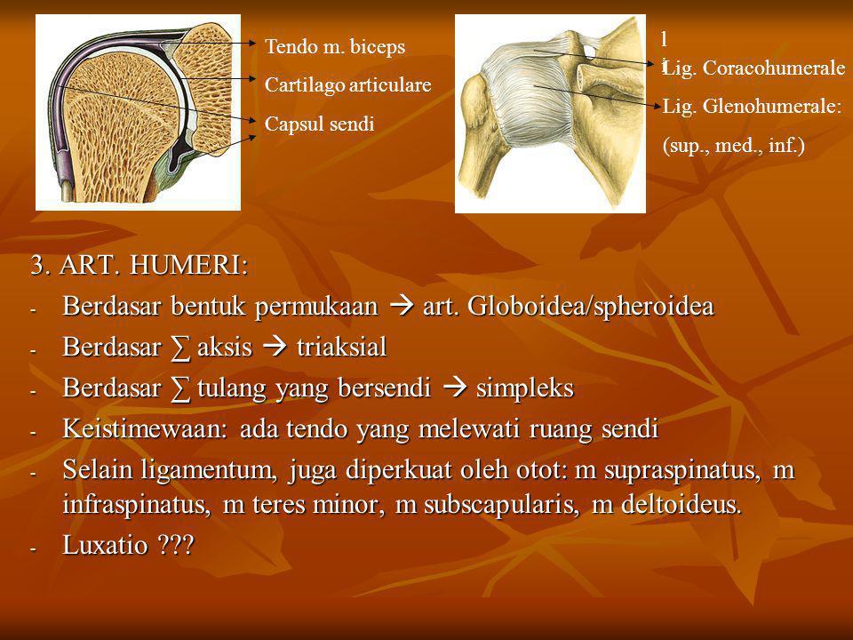 3. ART. HUMERI: - Berdasar bentuk permukaan  art. Globoidea/spheroidea - Berdasar ∑ aksis  triaksial - Berdasar ∑ tulang yang bersendi  simpleks -