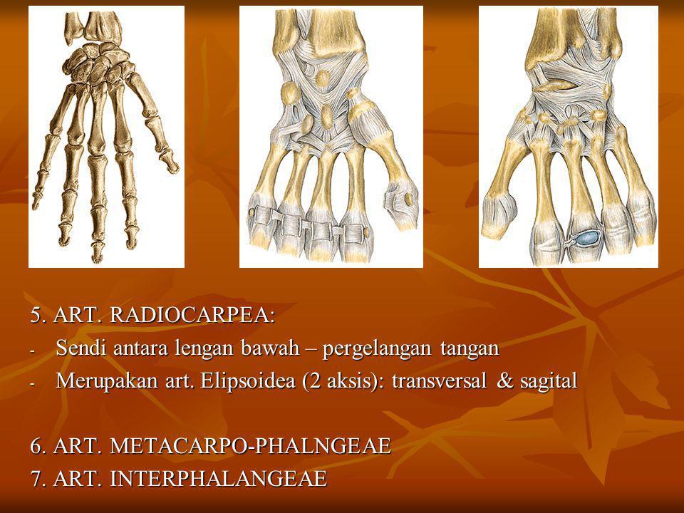 5. ART. RADIOCARPEA: - Sendi antara lengan bawah – pergelangan tangan - Merupakan art. Elipsoidea (2 aksis): transversal & sagital 6. ART. METACARPO-P
