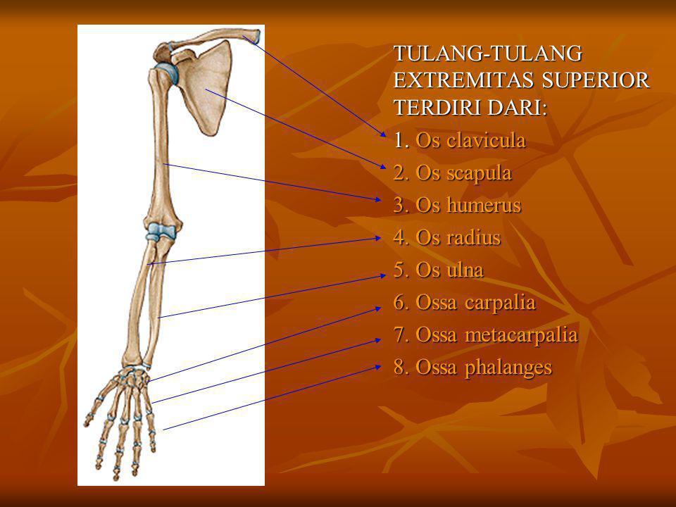 Aksis posisi otot gerakan thd aksis thd aksis Sagital medial/inferior adduksi lateral/superior abduksi lateral/superior abduksi Transversal anterior/superior fleksi/antefleksi posterior/inferior ekstensi/dorsofl.