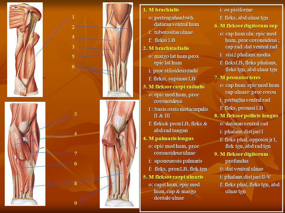 1. M brachialis o: pertengahan bwh dataran ventral hum o: pertengahan bwh dataran ventral hum i: tuberositas ulnae i: tuberositas ulnae f: fleksi LB f