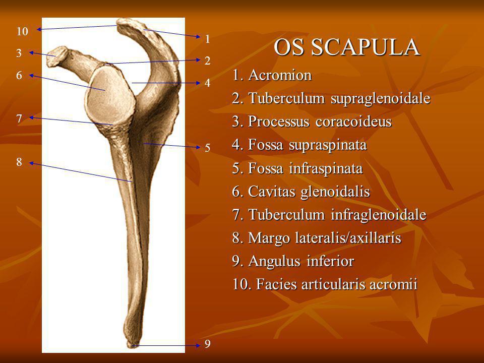 OS SCAPULA 1. Acromion 2. Tuberculum supraglenoidale 3. Processus coracoideus 4. Fossa supraspinata 5. Fossa infraspinata 6. Cavitas glenoidalis 7. Tu