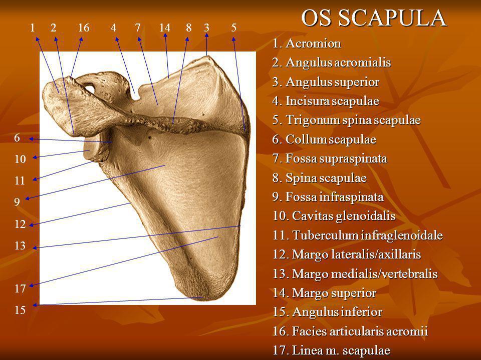 OS SCAPULA 1. Acromion 2. Angulus acromialis 3. Angulus superior 4. Incisura scapulae 5. Trigonum spina scapulae 6. Collum scapulae 7. Fossa supraspin
