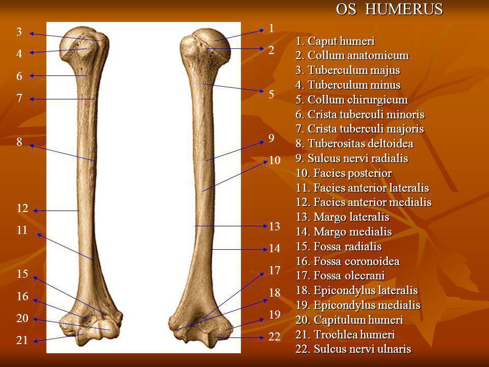 OS HUMERUS 1. Caput humeri 2. Collum anatomicum 3. Tuberculum majus 4. Tuberculum minus 5. Collum chirurgicum 6. Crista tuberculi minoris 7. Crista tu