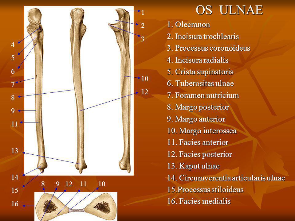 OS RADIUS 1.Fovea articularis capituli radii 2.Circumverentia articularis radii 3.
