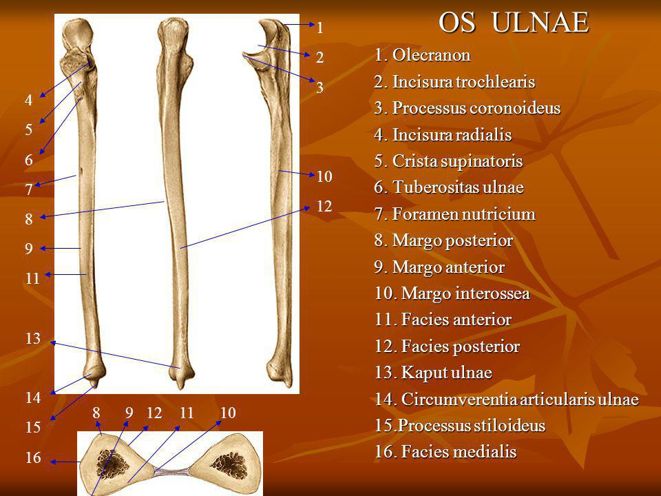 OS ULNAE 1. Olecranon 2. Incisura trochlearis 3. Processus coronoideus 4. Incisura radialis 5. Crista supinatoris 6. Tuberositas ulnae 7. Foramen nutr