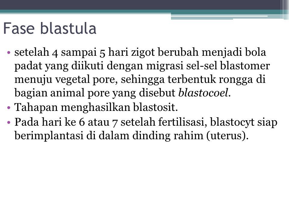 Fase blastula setelah 4 sampai 5 hari zigot berubah menjadi bola padat yang diikuti dengan migrasi sel-sel blastomer menuju vegetal pore, sehingga terbentuk rongga di bagian animal pore yang disebut blastocoel.
