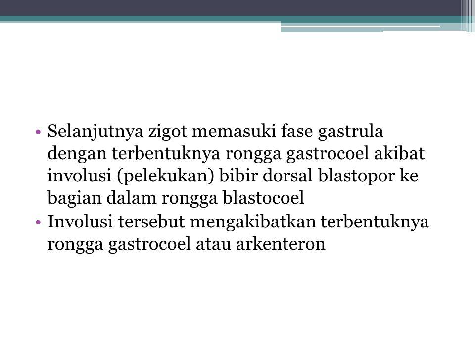 Selanjutnya zigot memasuki fase gastrula dengan terbentuknya rongga gastrocoel akibat involusi (pelekukan) bibir dorsal blastopor ke bagian dalam rong