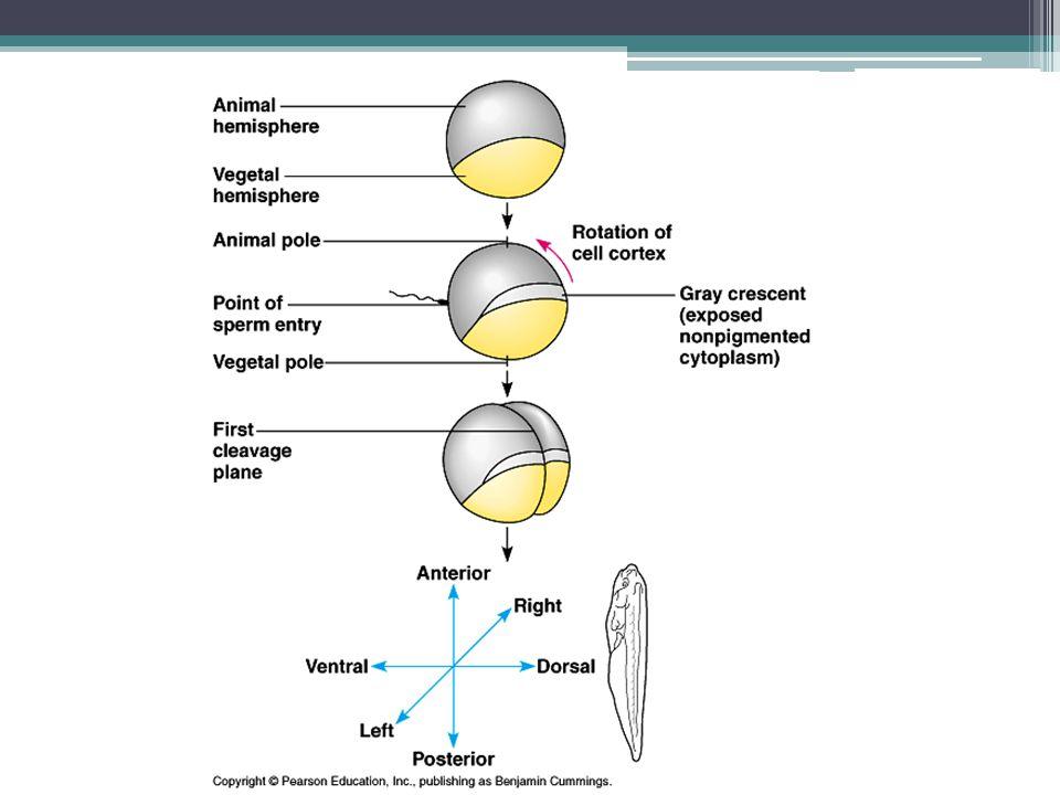 Selain adanya pemetaan nasib dari embrio, pada proses embriogenesis juga terjadi induksi diferensiasi sel pada fase gastrula Induksi pada fase embriogenesis terjadi karena adanya zat induktor berupa materi genetik RNA (Ribo Nucleid Acid) dalam sel embrio yang akan menginduksi terjadinya perlekukan dan migrasi sel.