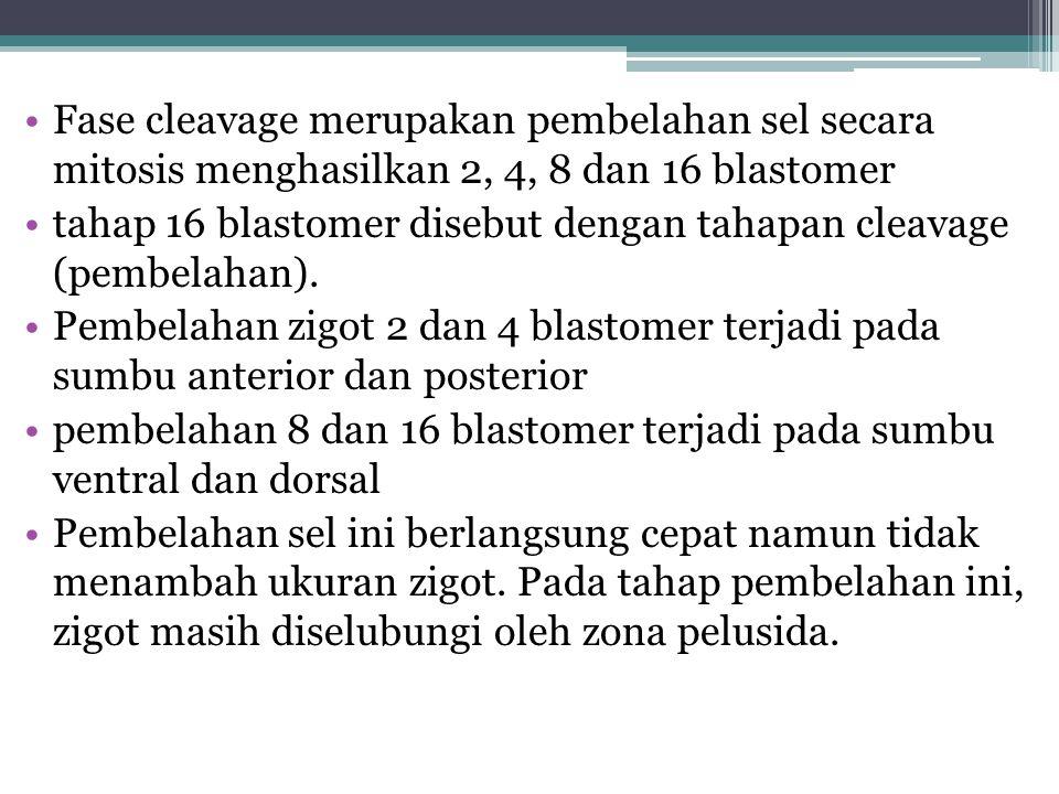 Fase cleavage merupakan pembelahan sel secara mitosis menghasilkan 2, 4, 8 dan 16 blastomer tahap 16 blastomer disebut dengan tahapan cleavage (pembel