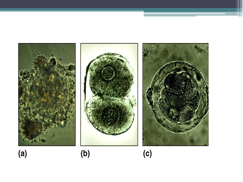 Rongga arkenteron kelak akan menjadi saluran pencernaan Bibir dorsal tempat involusi tersebut membentuk blatoporus, yang kelak akan menjadi anus Involusi sel-sel bibir dorsal ini akan terus mendesak rongga blastocoel menjadi lebih sempit dan terbentuklah 3 lapisan embrional yaitu ektoderm, mesoderm dan entoderm