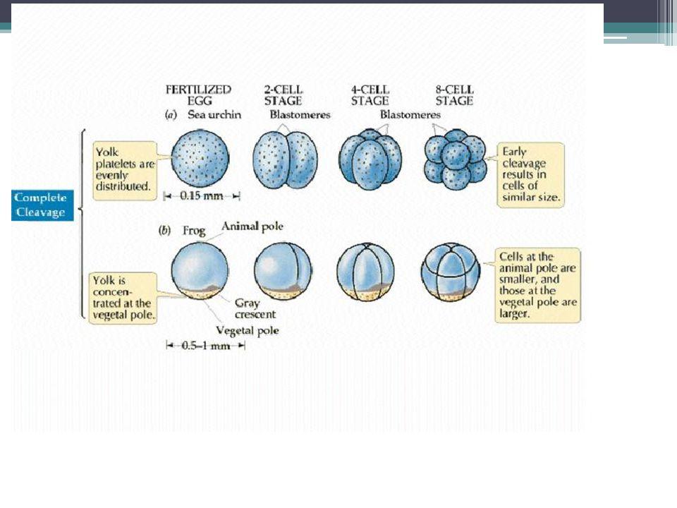 Fase morula terjadi setelah pembelahan zigot menjadi 16 sel, terjadi pembelahan menjadi 32 sel yang disebut morula Fase morula merupakan bola padat yang penuh dengan sel-sel hasil pembelahan dan masih diselimuti oleh zona pelusida Blastomer terus mengalami pembelahan, menjadi 64 Pembelahan terus berlangsung sepanjang saluran oviduk