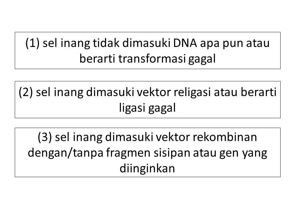 (1) sel inang tidak dimasuki DNA apa pun atau berarti transformasi gagal (2) sel inang dimasuki vektor religasi atau berarti ligasi gagal (3) sel inang dimasuki vektor rekombinan dengan/tanpa fragmen sisipan atau gen yang diinginkan