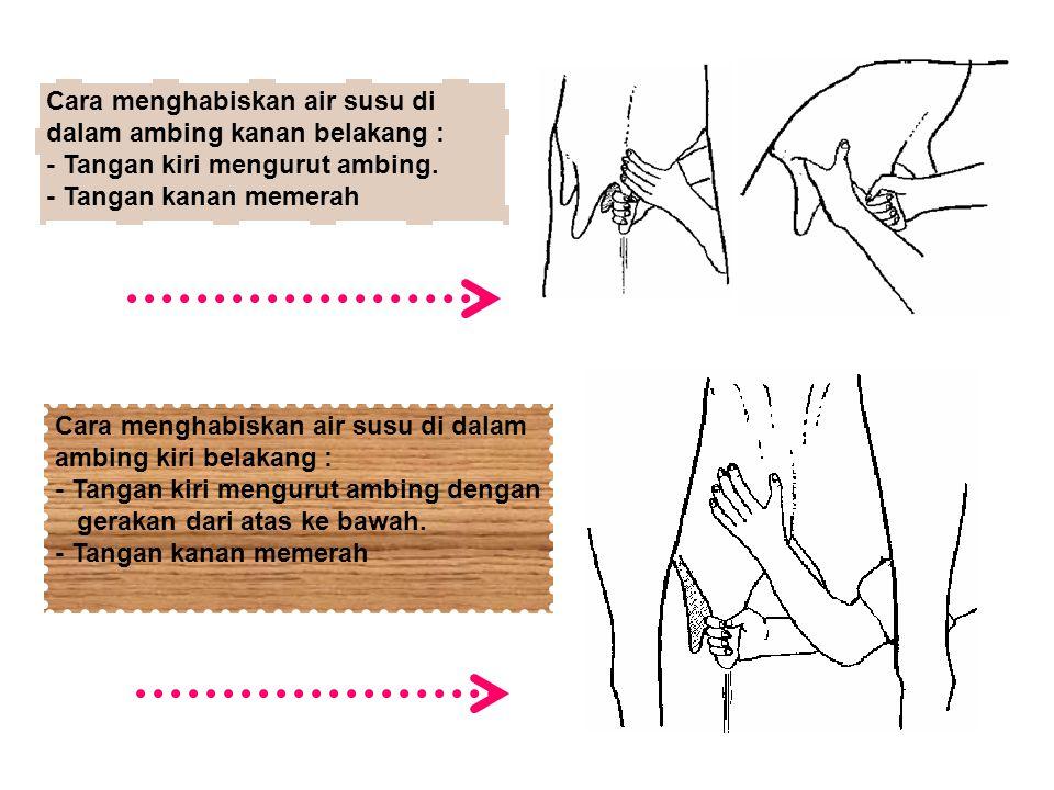Cara menghabiskan air susu di dalam ambing kanan belakang : - Tangan kiri mengurut ambing. - Tangan kanan memerah Cara menghabiskan air susu di dalam